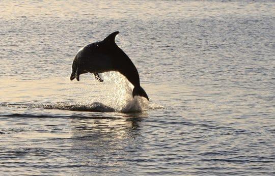 Dolphin from Cherokee
