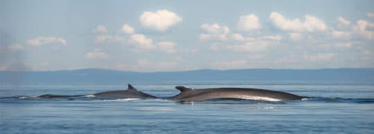 Minke whales in the Hebrides