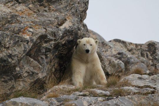 Nooderlicht Svalbard Polar Bear