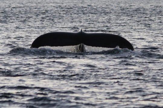 Noorderlicht Whale Watching 2