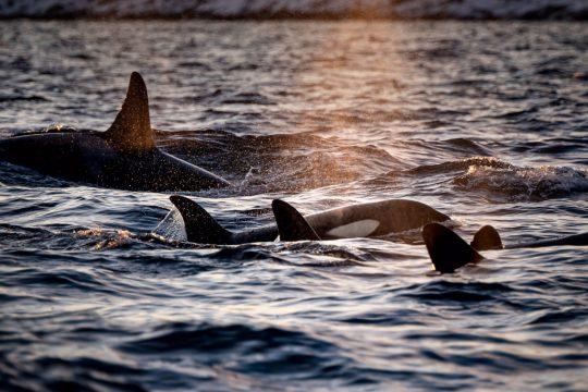 Noorderlicht-norway-sailing-orca-whales