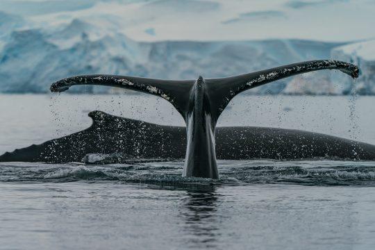 Noorderlicht-norway-sailing-whale-tale