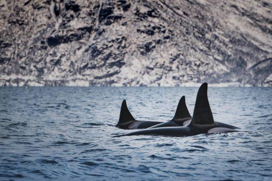 Noorderlicht-norway-sailing-whale-watching