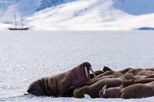 Noorderlicht-svalbard-adventure-walrus