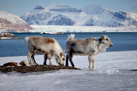 Noorderlicht-svalbard-reindeer