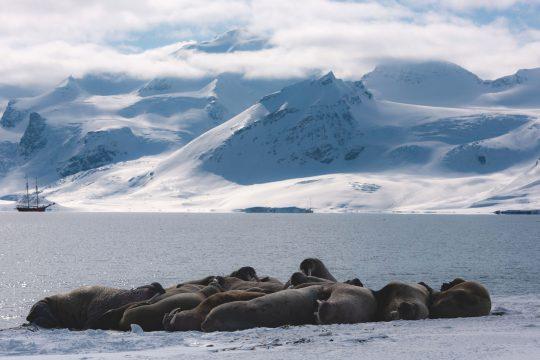 Noorderlicht-svalbard-sailing-walrus