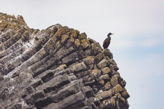 Scotland-Coromorant-Staffa