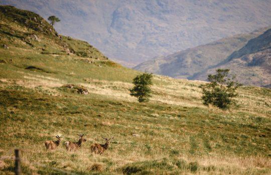 Scotland wildlife Deer