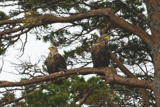 Scotland-Sea-Eagle-Pair