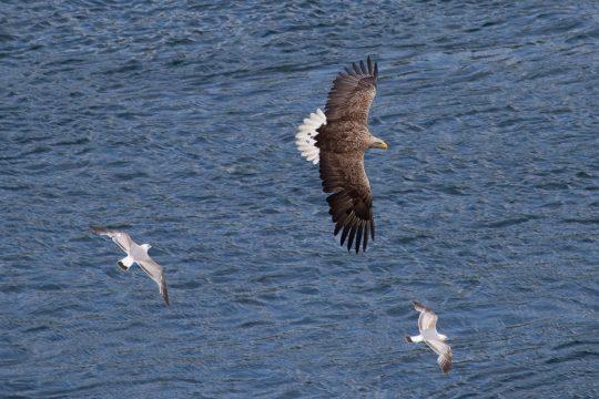Scotland-Sea-Eagle-Skye-Flying