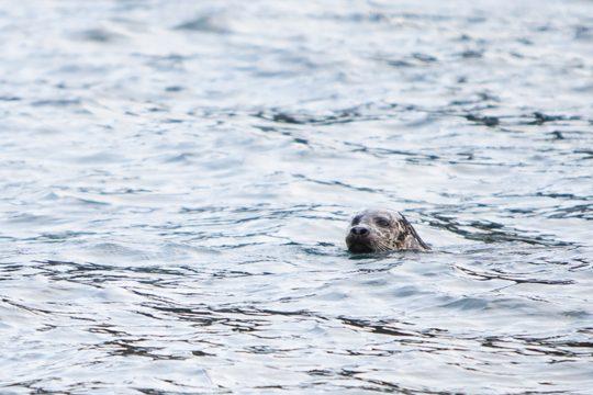 Scotland-grey-seal-swimming