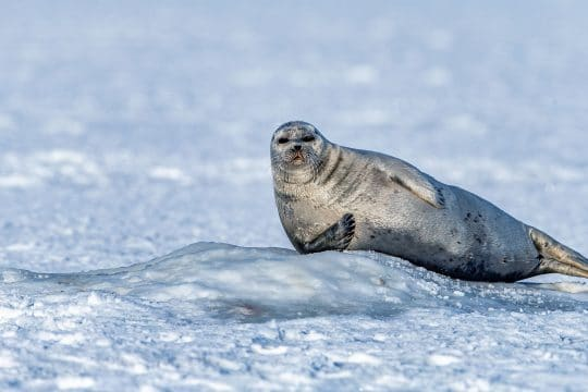 Svalbard Arctic seal