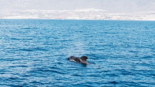 Tenerife-pilot-whale