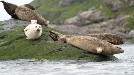 WILDLIFE scottish seals