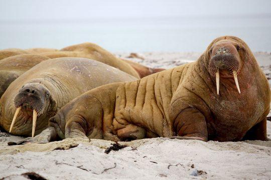 Walrus Arctic