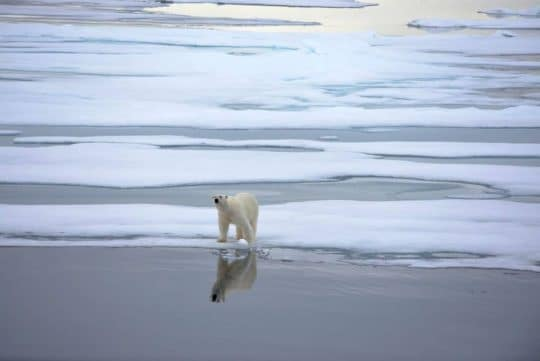 arctic sailing polar bear wildlife linden