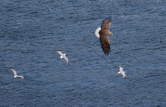 scotland wildlife sea eagle